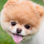 Boo, very cute dog